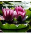 Nymphaea Attraction - Lilia wodna