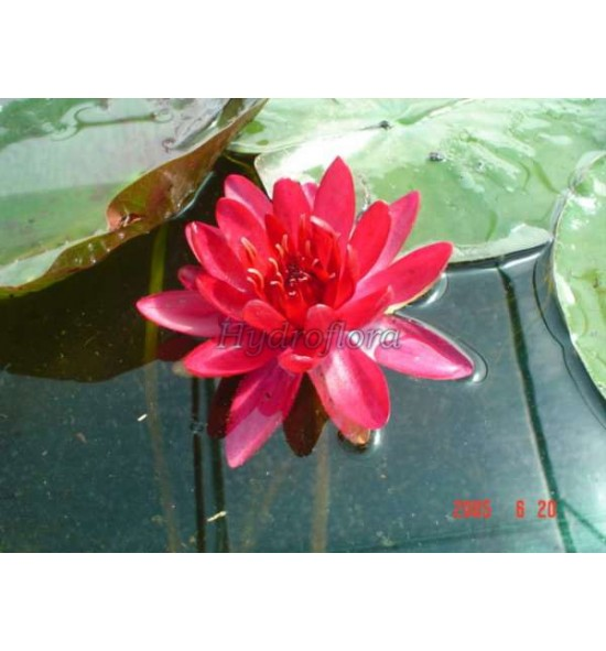 Nymphaea Escarboucle - Lilia wodna