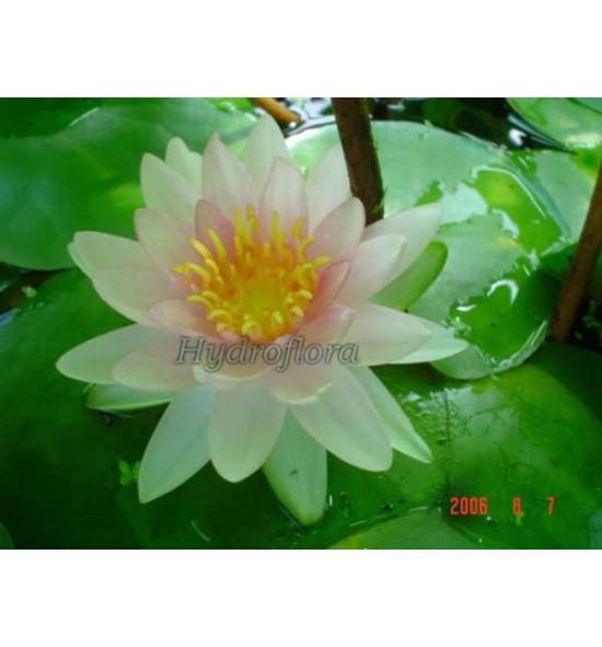 Nymphaea Marliac Rosea - Lilia wodna