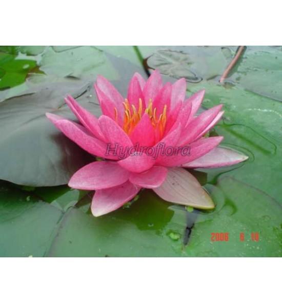 Nymphaea Rose Arey - Lilia wodna