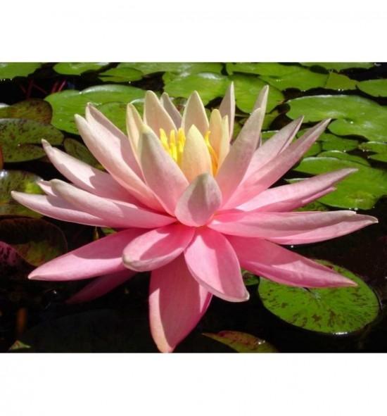 Nymphaea Sunny Pink - Lilia wodna