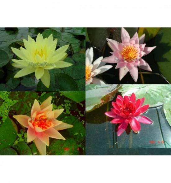 """Zestaw """"Najpiękniejsze lilie wodne""""- 1"""