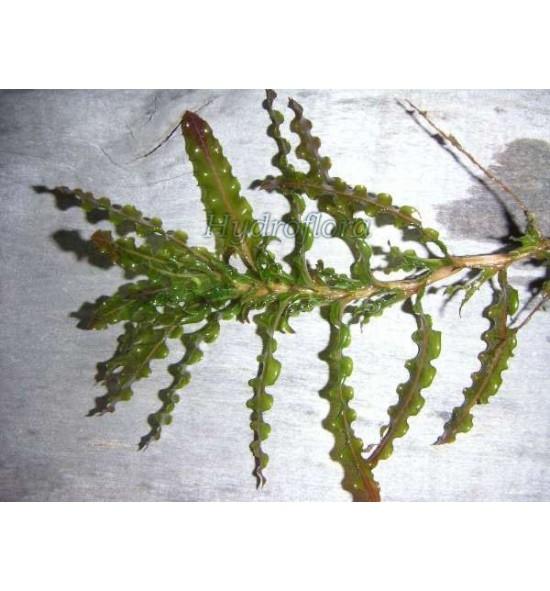 Potamogeton Crispus (Rdestnica kędzierzawa)
