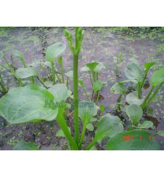 Alisma parviflora (Babka drobnokwiatowa)