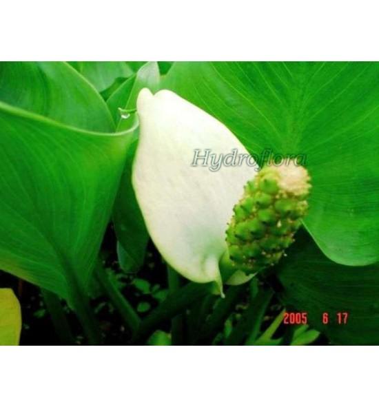 Calla palustris (Czermień błotna)