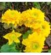 Caltha palustris (Multiplex Kaczeniec pełnokwiatowy)