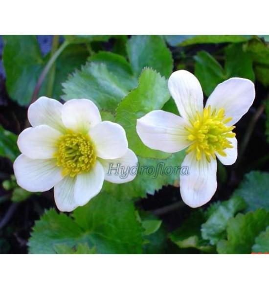 Caltha palustris Alba (Kaczeniec biały)