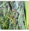 Carex riparia (Turzyca brzegowa)