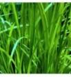 Carex sylvatica (Turzyca leśna)