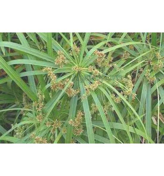 """Cyperus involucratus (Cibora zmienna, trawa nilowa """"papirus"""""""