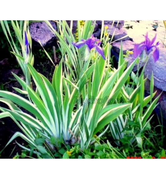 Iris laevigata variegata ( Kosaciec, Irys gładki pstry )