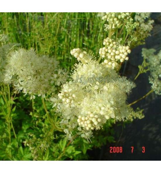 Filipendula ulmaria (Wiązówka błotna)