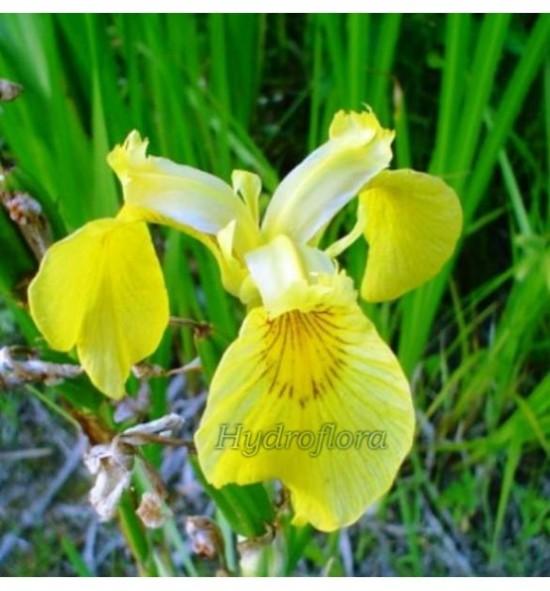 Iris pseudacorus (Kosaciec, Irys żółty)