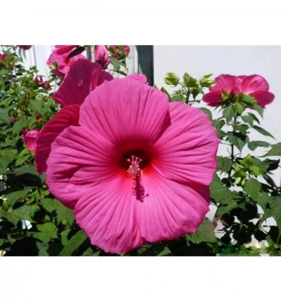 Hibiskus palustris/Hibiscus moscheutos - (Hibiskus bagienny)