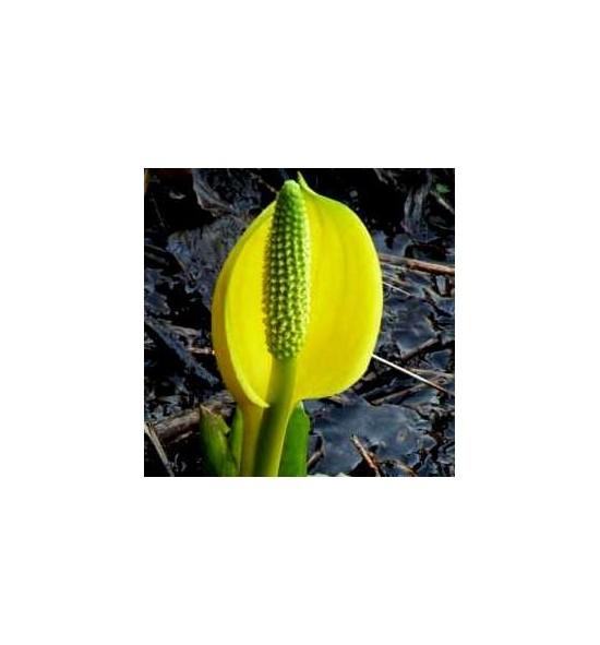 Lysichiton americanus (Tulejnik amerykański)