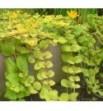 Lysimachia aurea (Tojeść rozesłana złota)