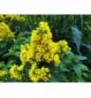Lysimachia vulgaris (Tojeść pospolita)