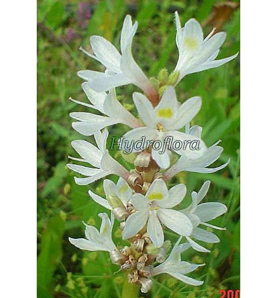 Pontederia Alba (Rozpław sercolistny biały)