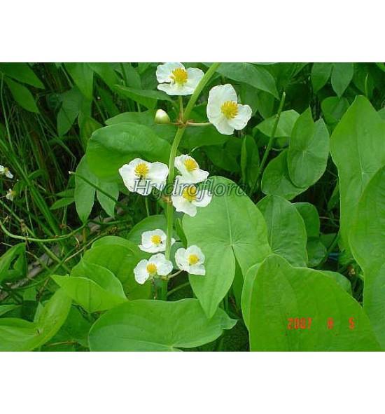 Sagittaria latifolia (Strzałka szerokolistna)