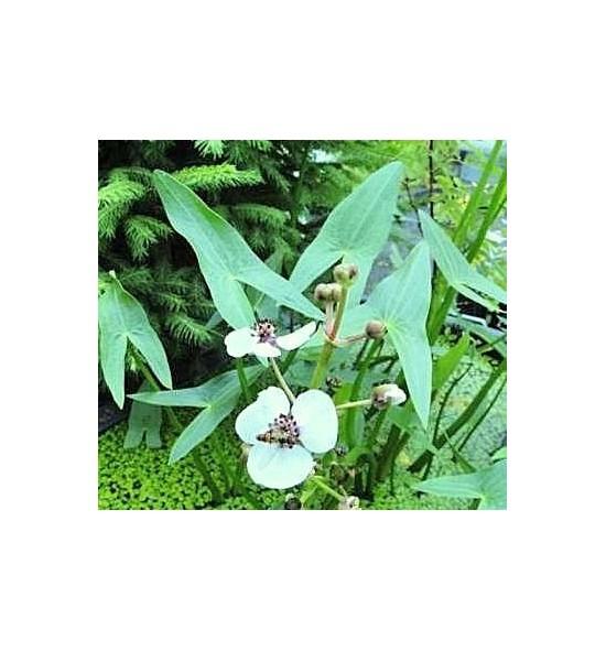 Sagittaria sagittifolia (Strzałka wodna)
