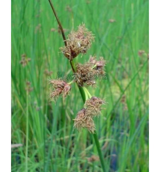Scirpus lacustris tabernaemontana (Oczeret jeziorny)