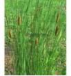Typha gracilis ( Pałka delikatna)