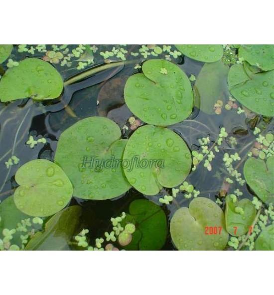 Hydroharis morsus ranae (Żabiściek pływający)