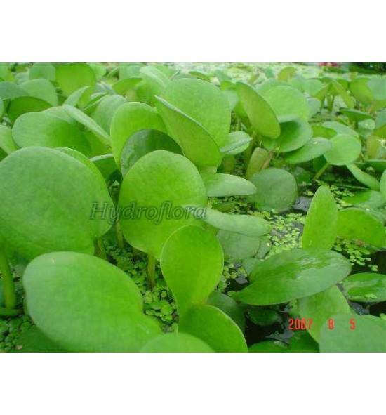 Limnobium spongia(Limnobium gąbczaste)