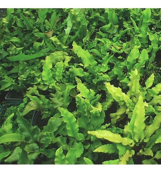Asplenium scolopendrium undulatum (Języcznik zwyczajny)