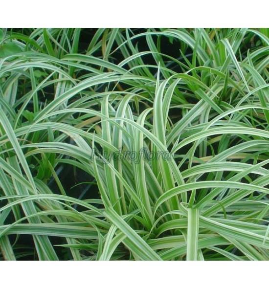 Carex morrovii Variegata (Turzyca morrovi)