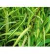 Dactylis glomerata variegata