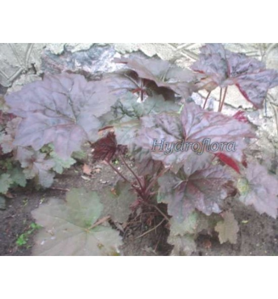 Heuchera Palace purple (Żurawka)