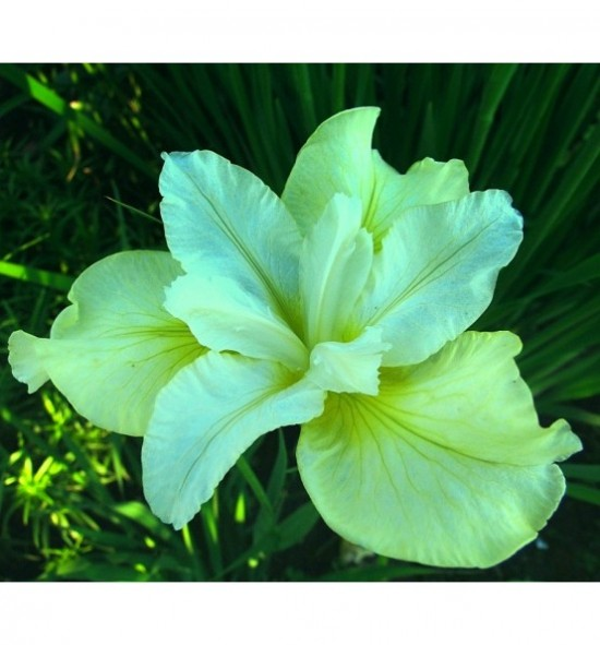 Iris Sibirica Butter and Sugar (Kosaciec, Irys syberyjski)