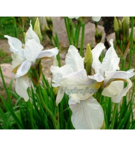 Iris sibirica snow queen (Kosaciec, Irys syberyjski snow queen)