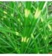 Miscanthus sinensis punktata (Miskant chiński)