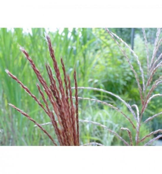 Miscanthus sinensis'Rotsilber'(Miskant chiński Rotsilber)
