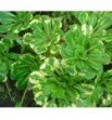 Saxifraga ubridum variegata (Skalnica pstra)