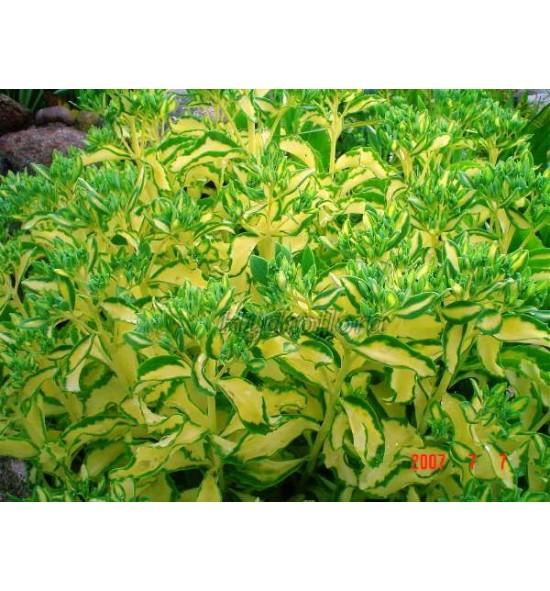 Sedum alboroseum mediovariegata (Rozchodnik olbrzymi pstry)