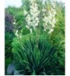 Yucca gloriosa ( Juka wspaniała)