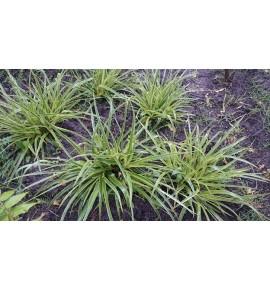Luzula silvatica Variegata (Kosmatka olbrzymia pstra)