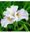 Iris sibirica Dawn Waltz (Kosaciec, Irys syberyjski)