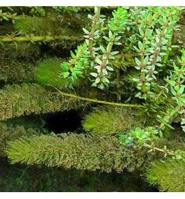 Myriophyllum spicatum - (Wywłócznik kłosowy)