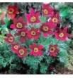 """Pulsatilla vulgaris """"Rubra"""" ( Sasanka zwyczajna)"""