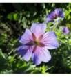 Geranium himalayense ( Bodziszek himalajski)