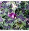 Geranium phaeum (Bodziszek żałobny)