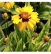 Coreopsis grandiflora Variegata (Nachyłek wielkokwiatowy pstry)