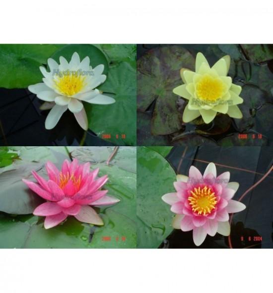 Zestaw lilii wodnych