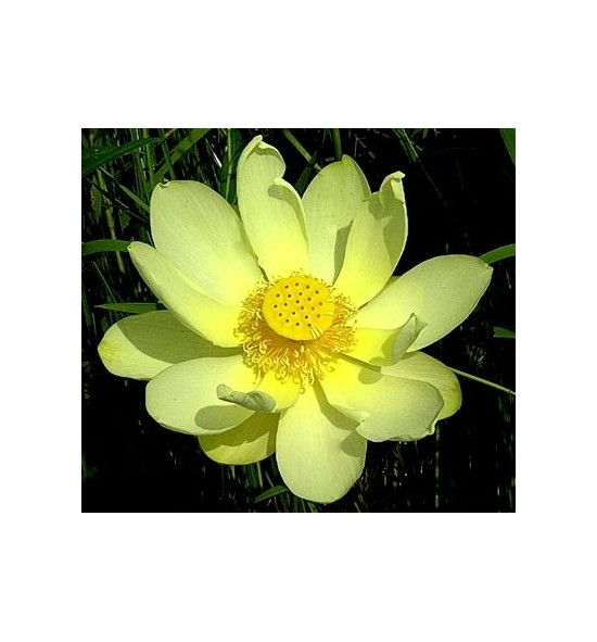 Nelumbo lutea- (Lotos żółty)