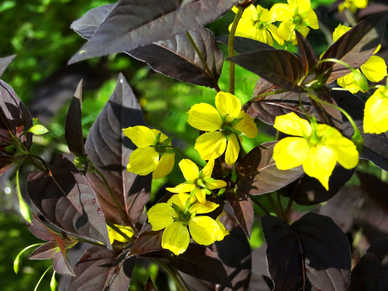 Фото растения вербейник реснитчатый firecracker 5