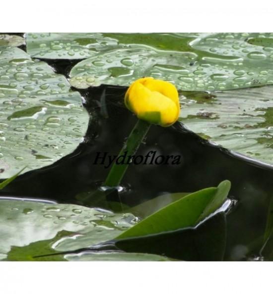 Nuphar Lutea - Grążel żółty